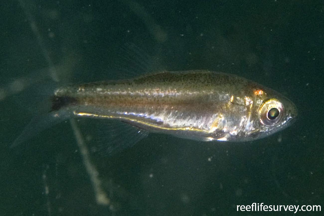 Siphamia cephalotes, Jervis Bay, NSW,  Photo: Andrew Green
