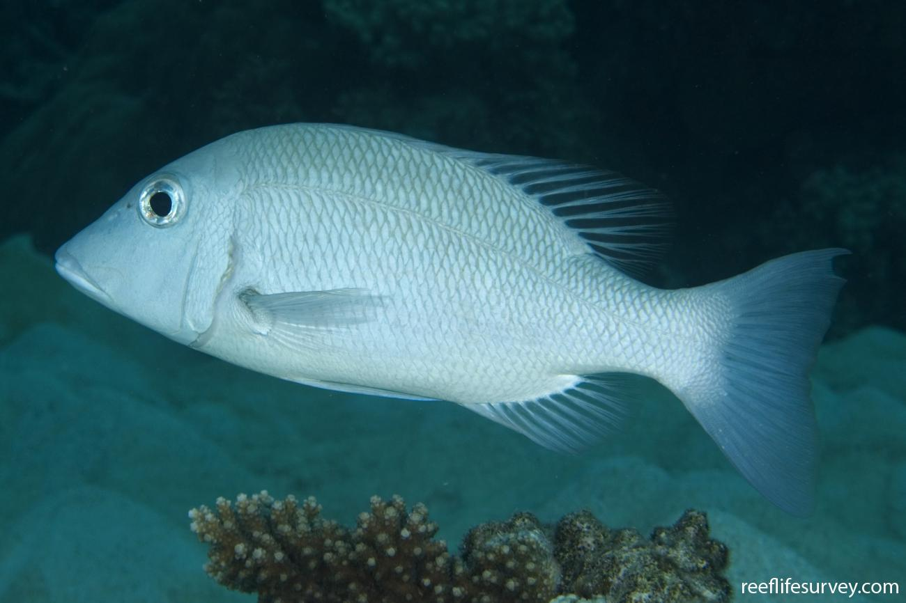 Lethrinus obsoletus, Great Barrier Reef, Cairns, QLD,  Photo: Andrew Green