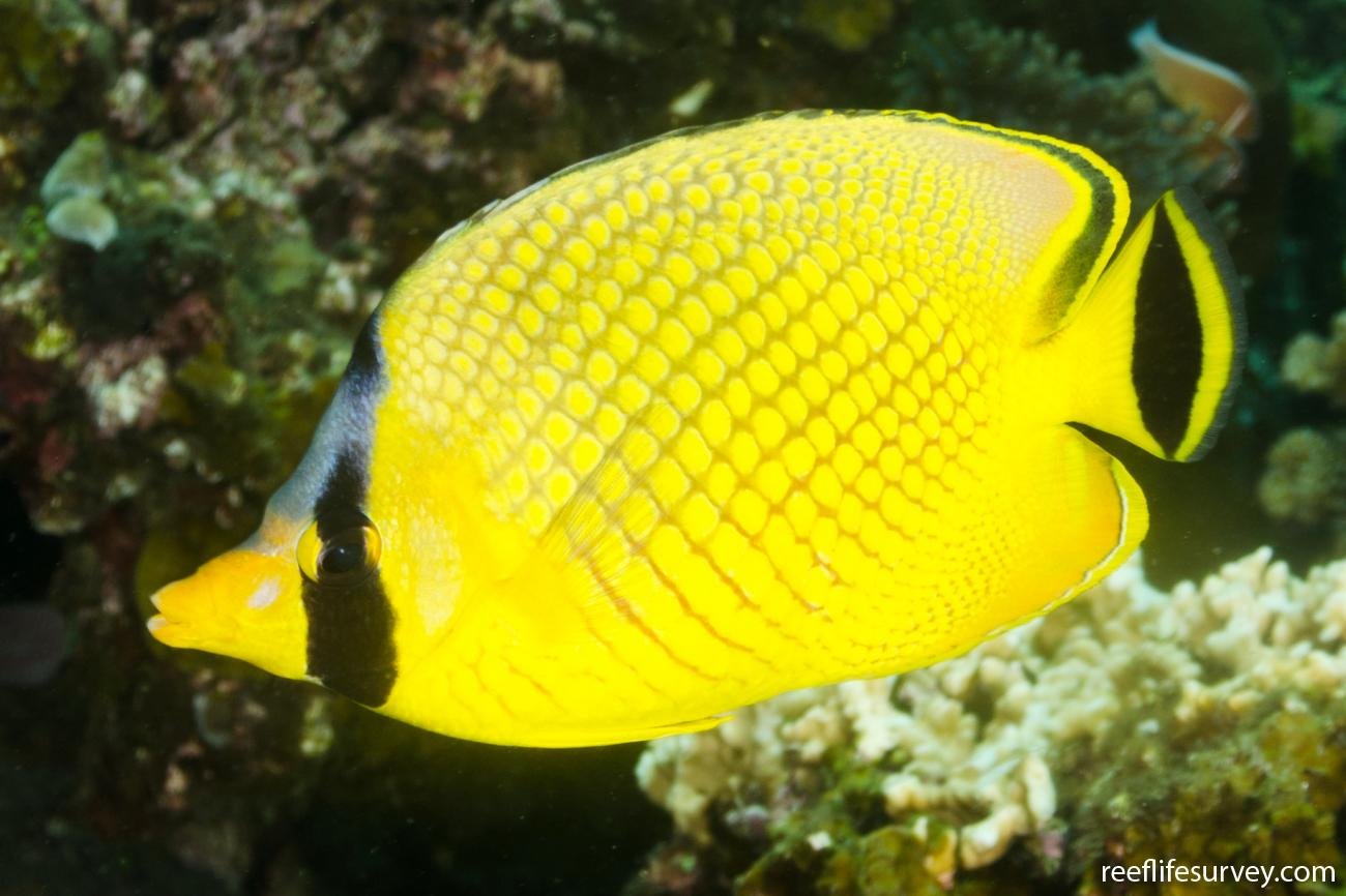 Chaetodon rafflesii, Adult, Bali, Indonesia,  Photo: Ian Shaw