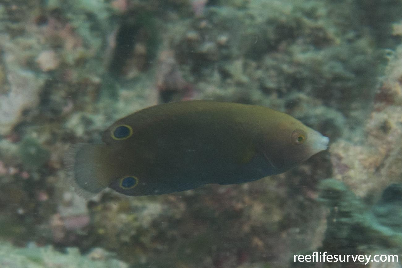 Anampses geographicus, Juvenile, QLD, Australia,  Photo: Rick Stuart-Smith