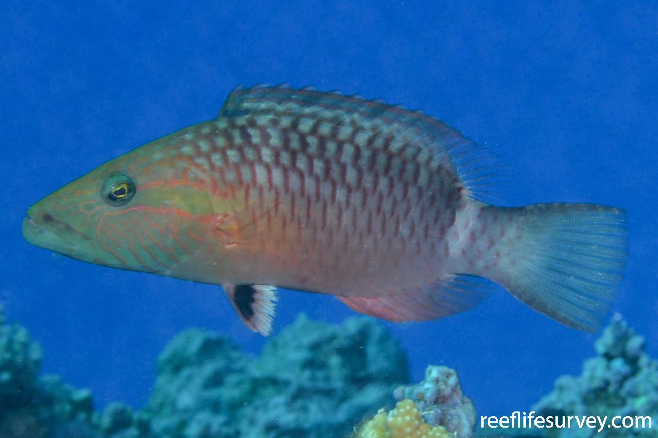 Oxycheilinus unifasciatus, Adult.  Photo: Graham Edgar