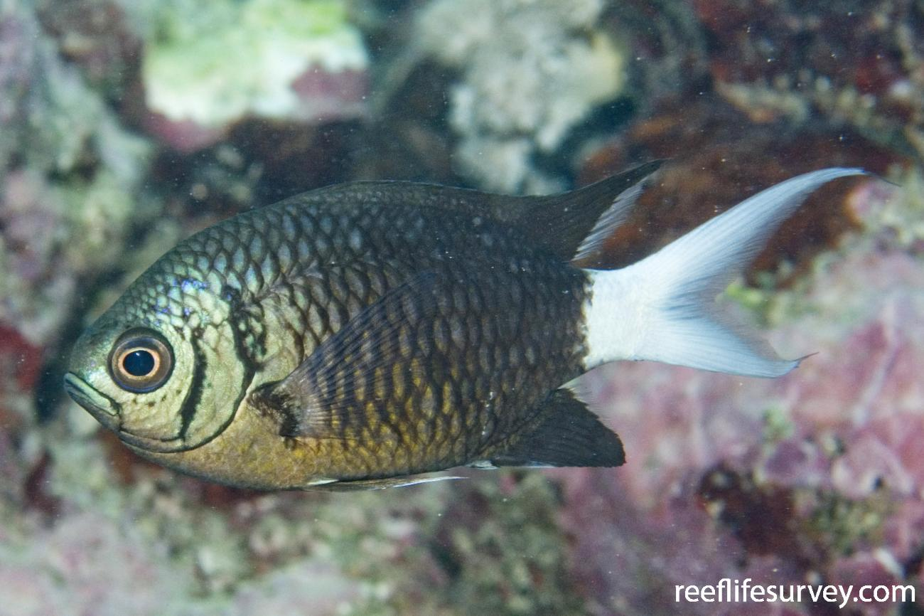 Chromis xanthura, Adult, Great Barrier Reef, Cairns, Qld,  Photo: Andrew Green