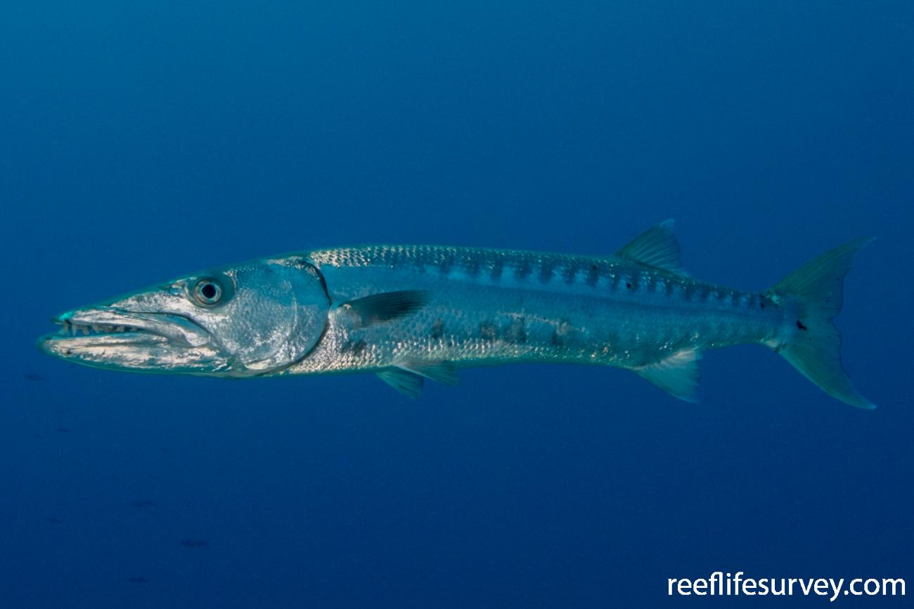 Sphyraena barracuda, Turks & Caicos,  Photo: Rick Stuart-Smith