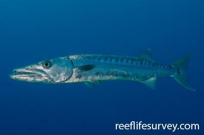 Sphyraena barracuda: Turks & Caicos,  Photo: Rick Stuart-Smith