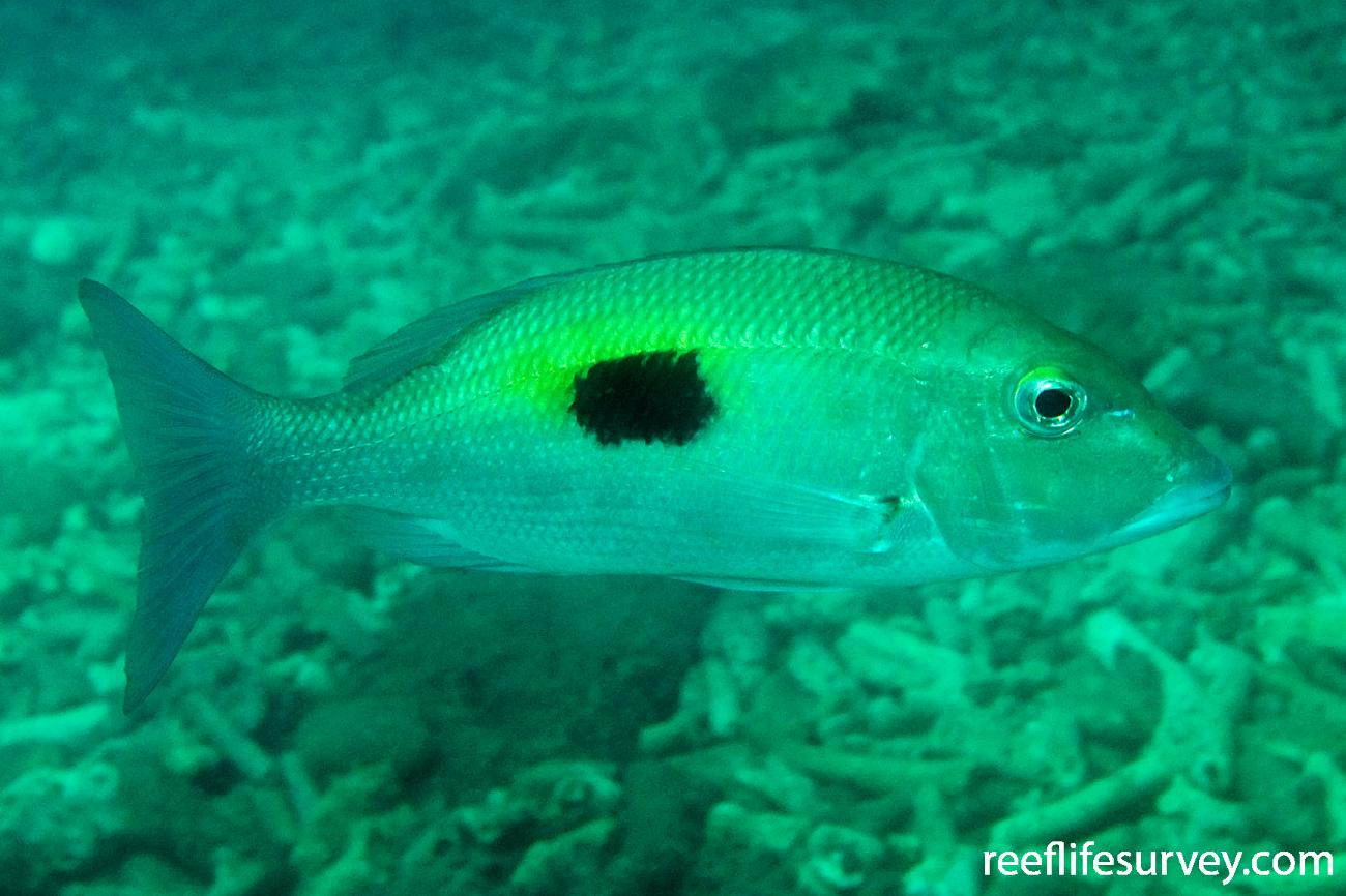 Lethrinus harak, Hudson Is, Great Barrier Reef, QLD,  Photo: Andrew Green