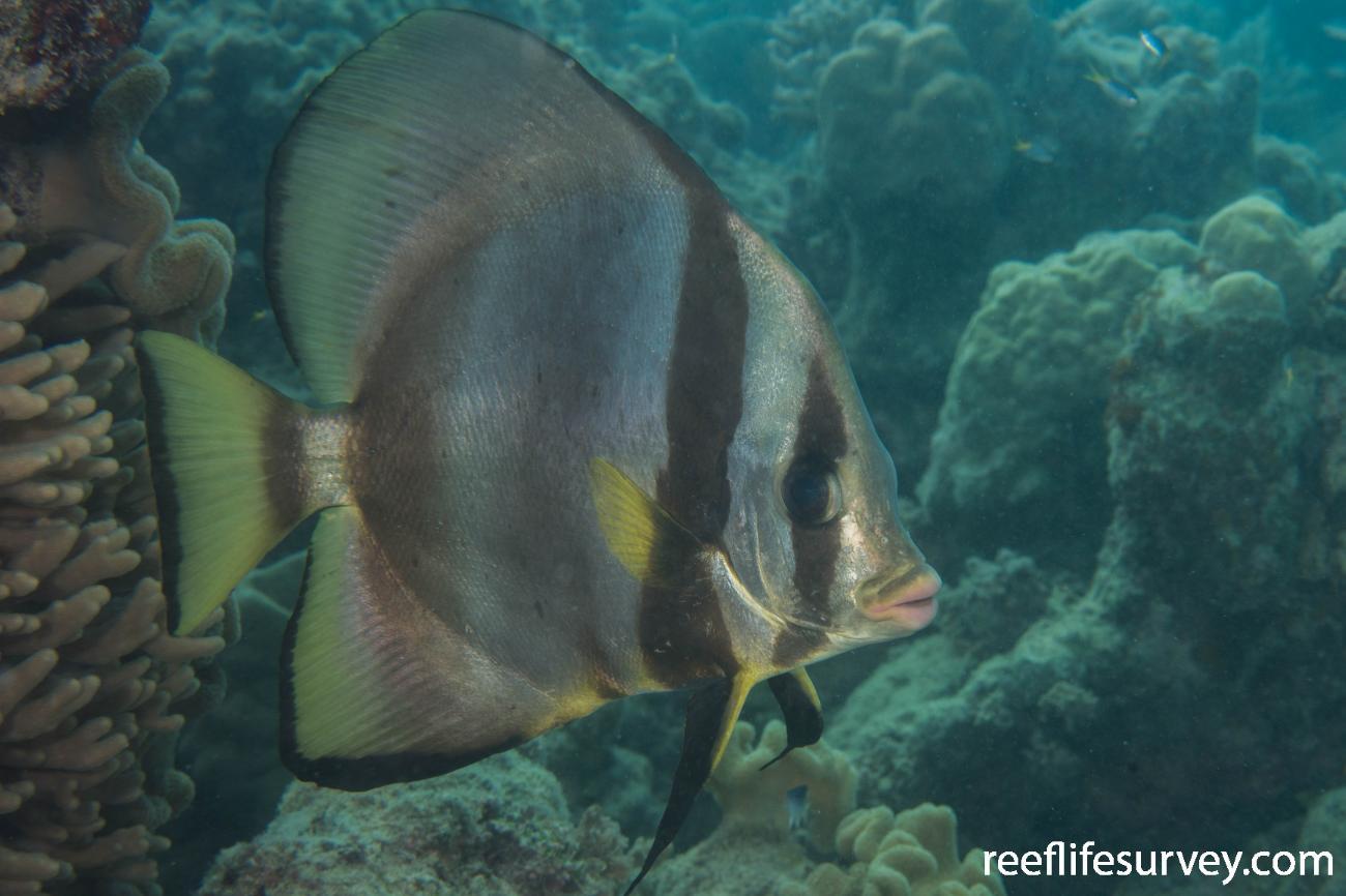 Platax pinnatus, QLD, Australia,  Photo: Rick Stuart-Smith