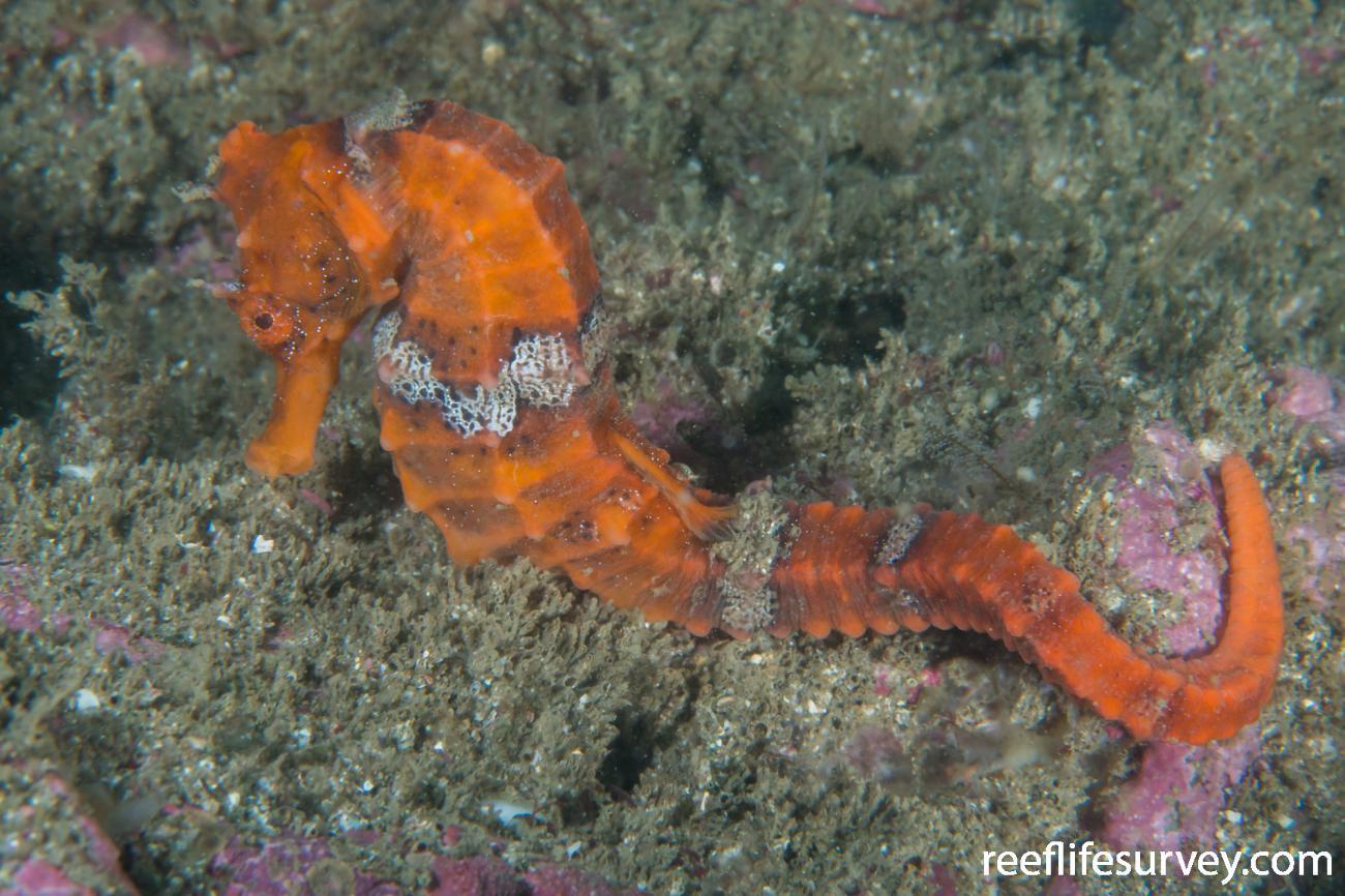 Hippocampus ingens, Nicaragua,  Photo: Rick Stuart-Smith