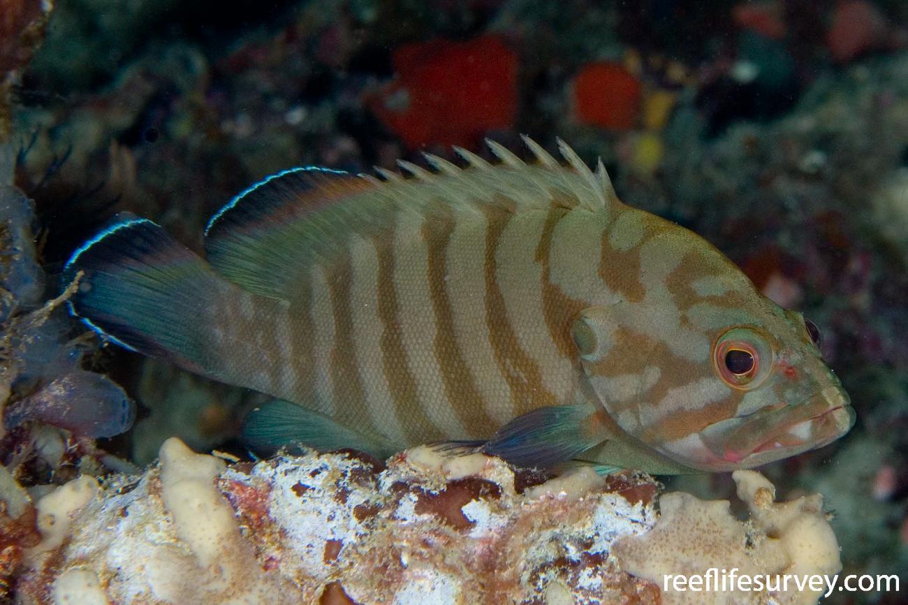 Cephalopholis boenak, Adult, Raja Ampat, Indonesia,  Photo: Andrew Green