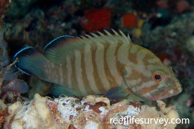 Cephalopholis boenak: Adult, Raja Ampat, Indonesia,  Photo: Andrew Green