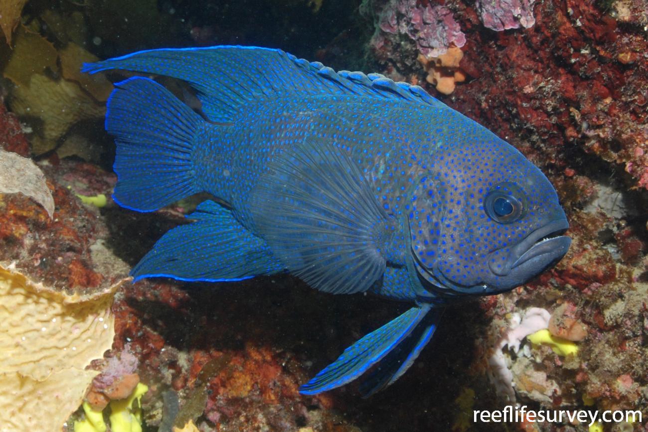 Paraplesiops meleagris, Adelaide, SA.  Photo: Graham Edgar
