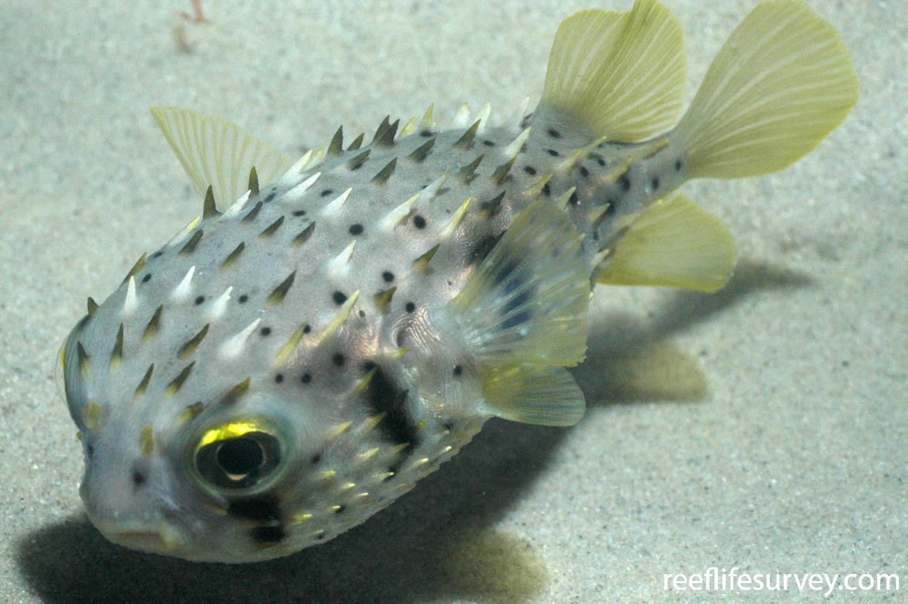Dicotylichthys punctulatus, Juvenile, Jervis Bay, NSW,  Photo: Graham Edgar