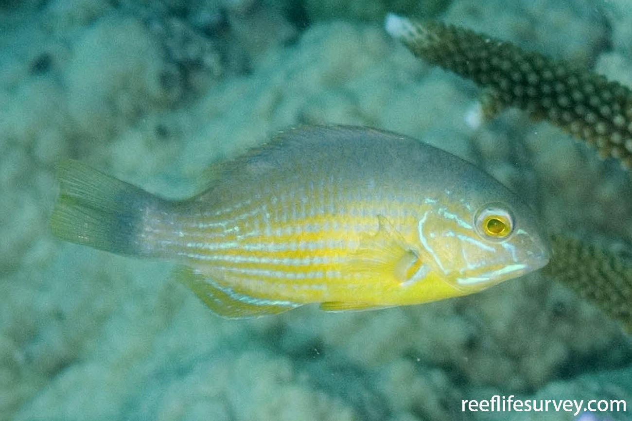 Choerodon schoenleinii, Juvenile, Coral Sea, Qld,  Photo: Andrew Green