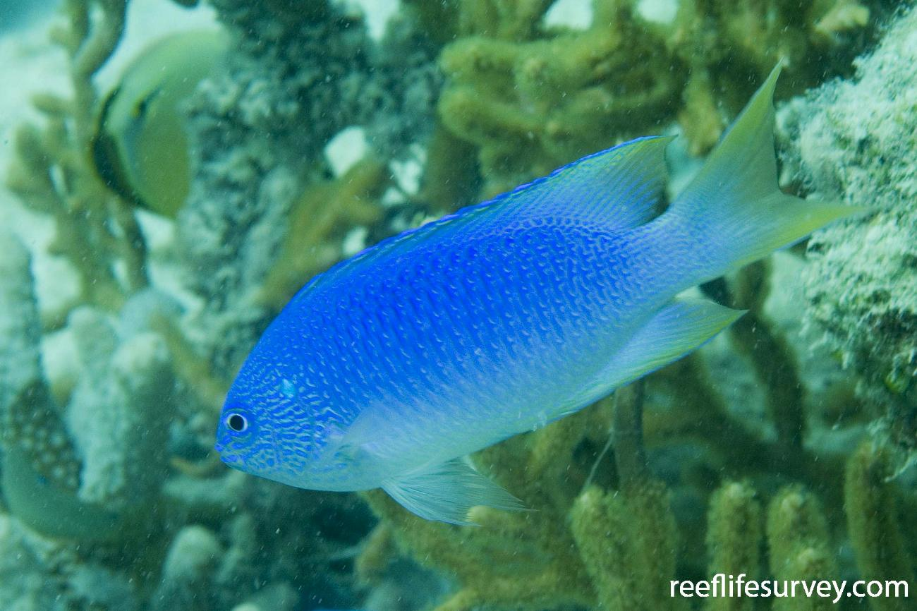 Pomacentrus pavo, Ashmore Reef, WA,  Photo: Andrew Green
