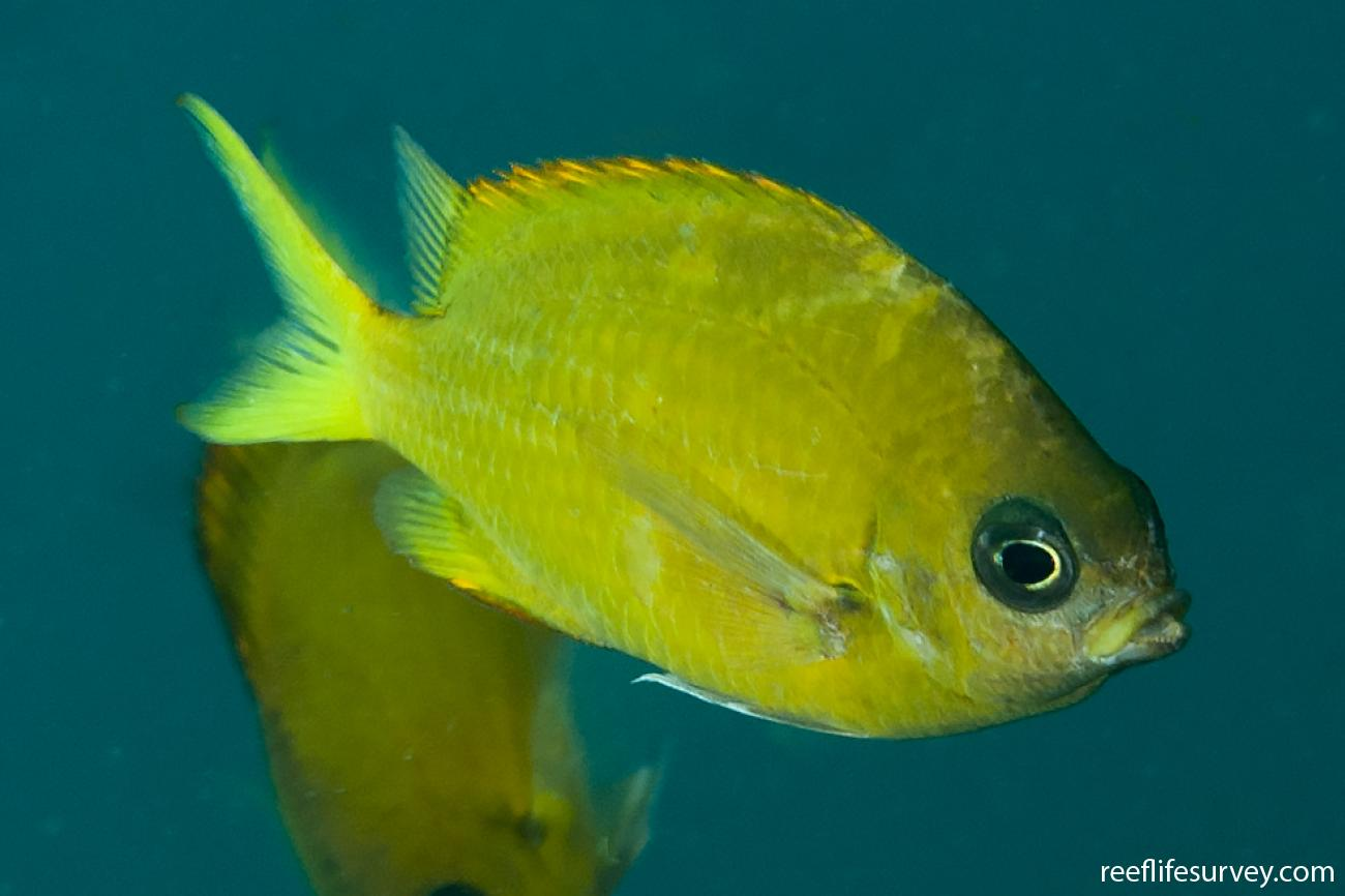 Chromis analis, Adult, Aceh, Indonesia,  Photo: Ian Shaw