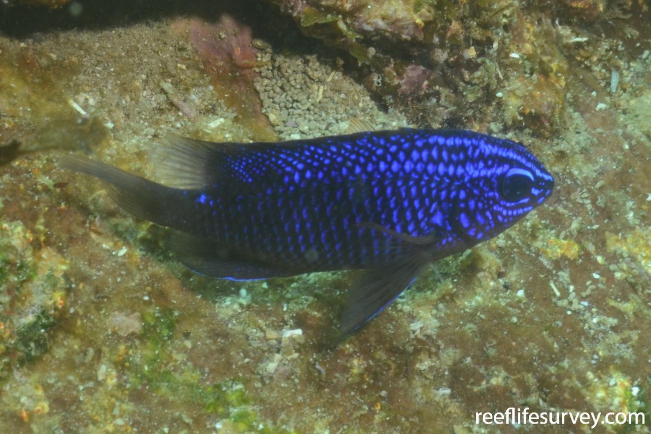 Stegastes rectifraenum, Juvenile, Gulf of California,  Photo: Graham Edgar