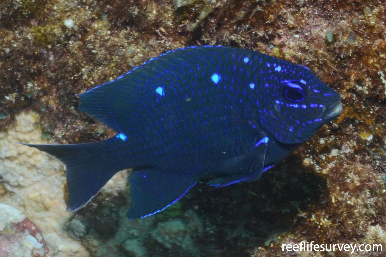 Microspathodon dorsalis, Juvenile.  Photo: Graham Edgar