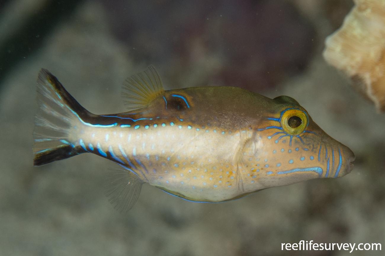Canthigaster rostrata, Belize,  Photo: Rick Stuart-Smith