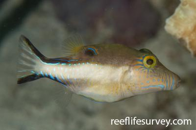 Canthigaster rostrata: Belize,  Photo: Rick Stuart-Smith