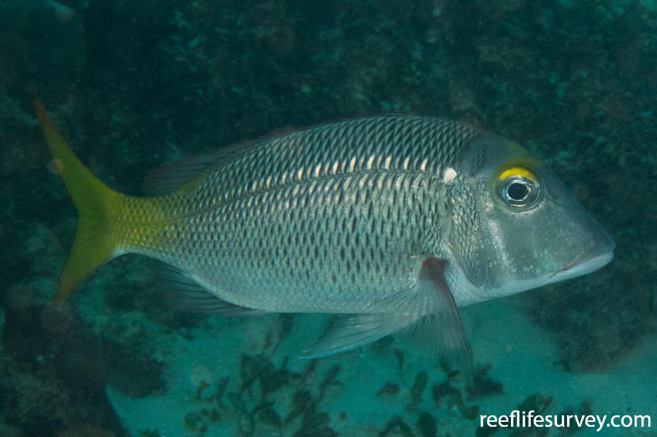 Lethrinus atkinsoni, WA, Australia,  Photo: Rick Stuart-Smith