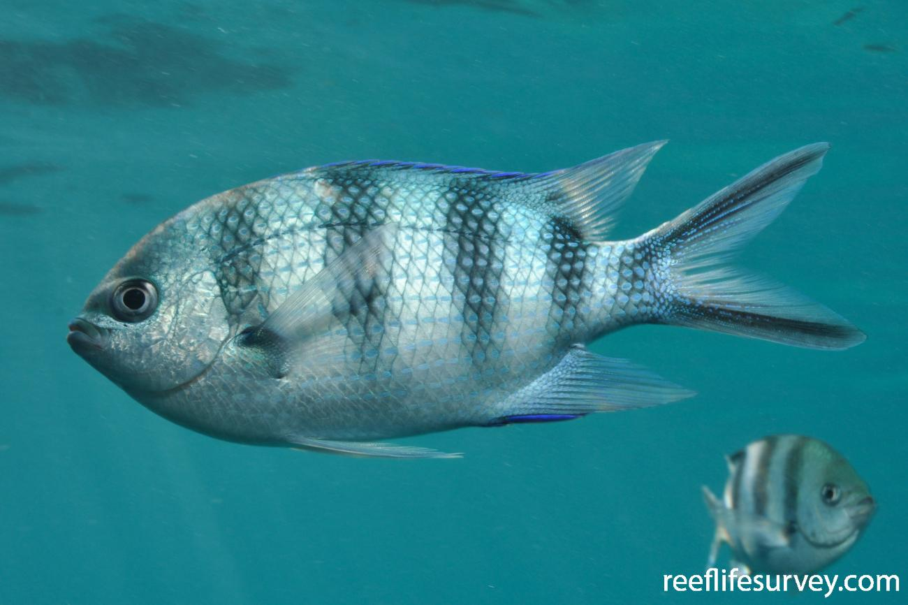 Abudefduf sexfasciatus, Seychelles,  Photo: Rick Stuart-Smith