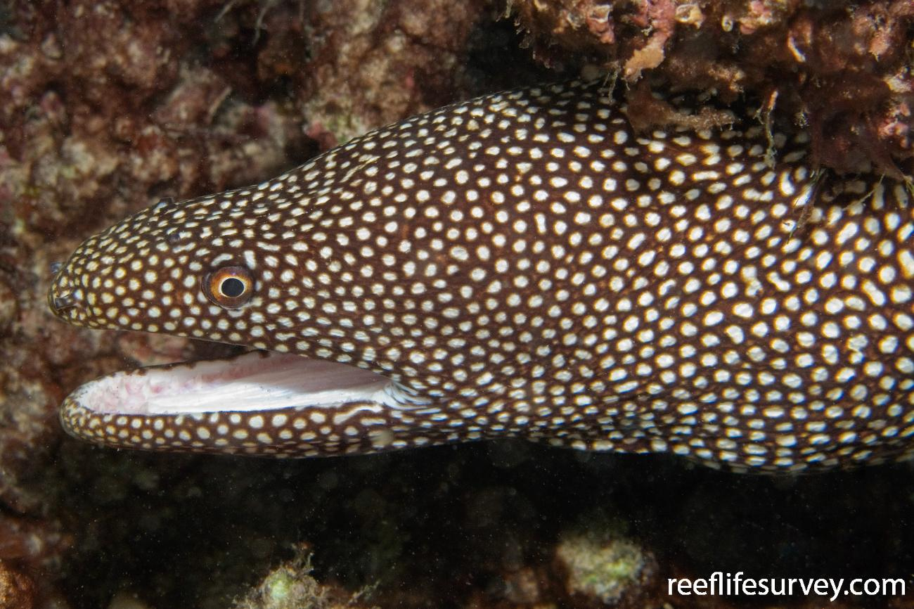 Gymnothorax meleagris, Lord Howe Is, NSW,  Photo: Andrew Green