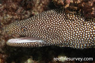 Gymnothorax meleagris: Lord Howe Is, NSW,  Photo: Andrew Green