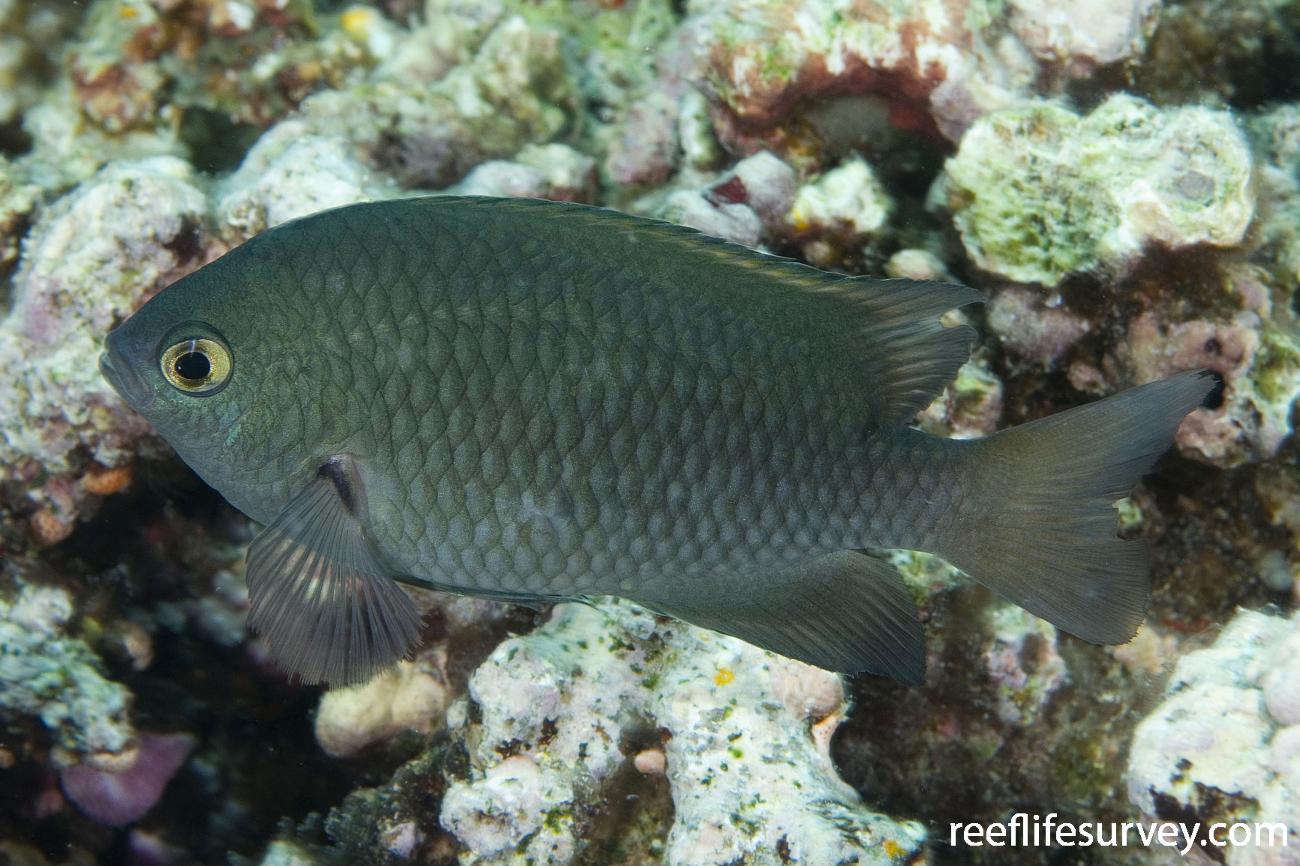 Pomacentrus microspilus, Naigani Is, Fiji,  Photo: Andrew Green