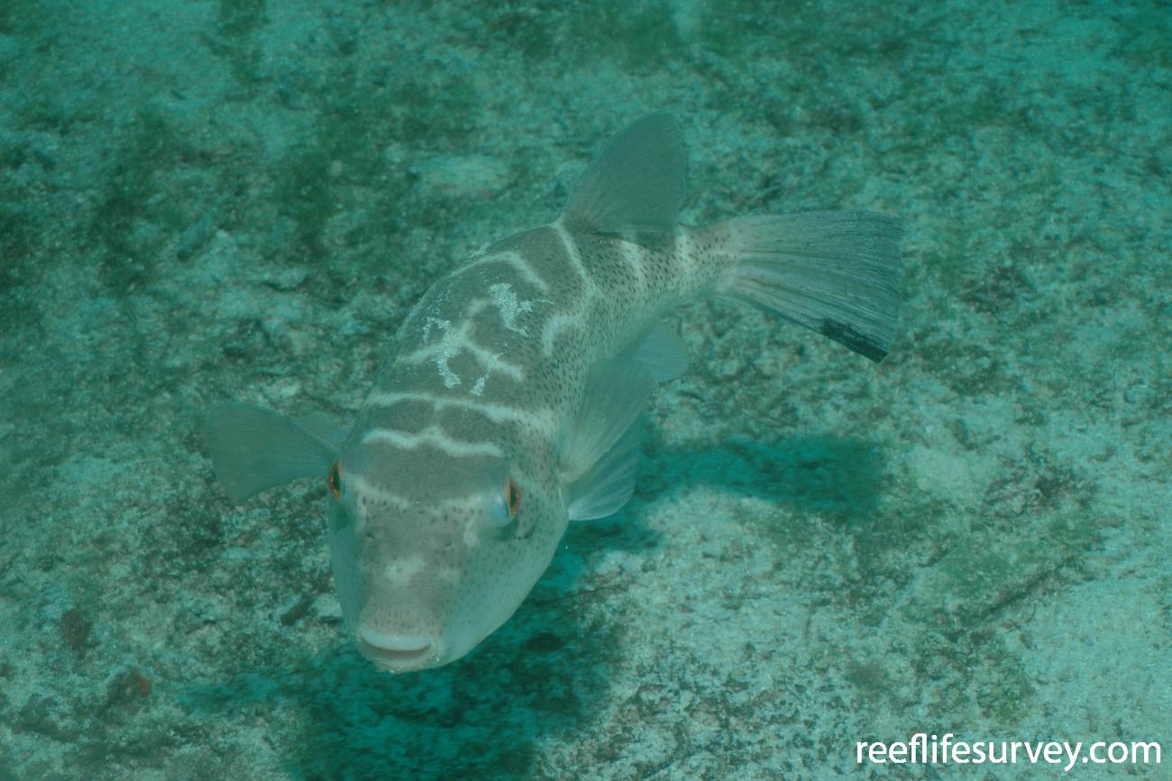 Sphoeroides annulatus, Galapagos Islands, Ecuador,  Photo: Graham Edgar