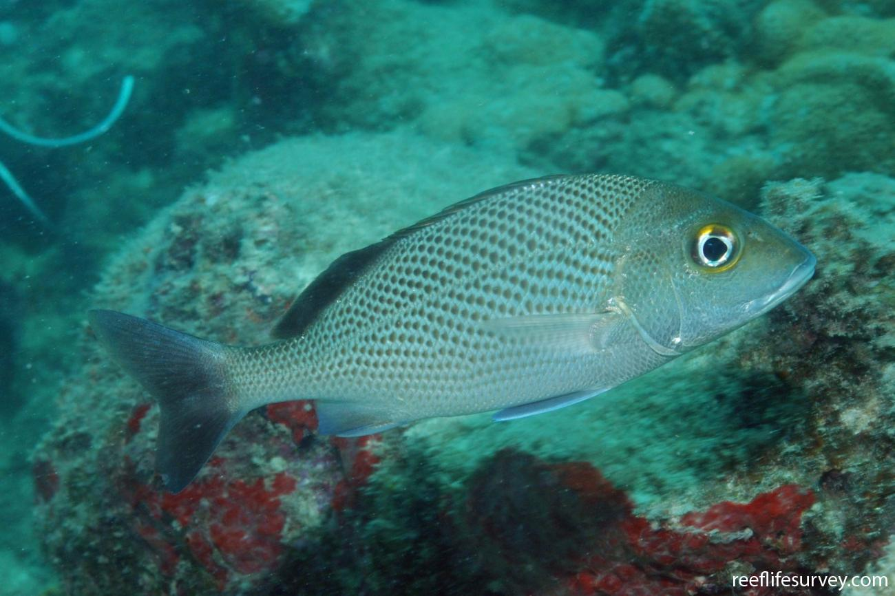 Haemulon parra, Abrolhos, Bahia, Brazil,  Photo: Graham Edgar