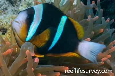 Amphiprion allardi: Tanzania,  Photo: Rick Stuart-Smith