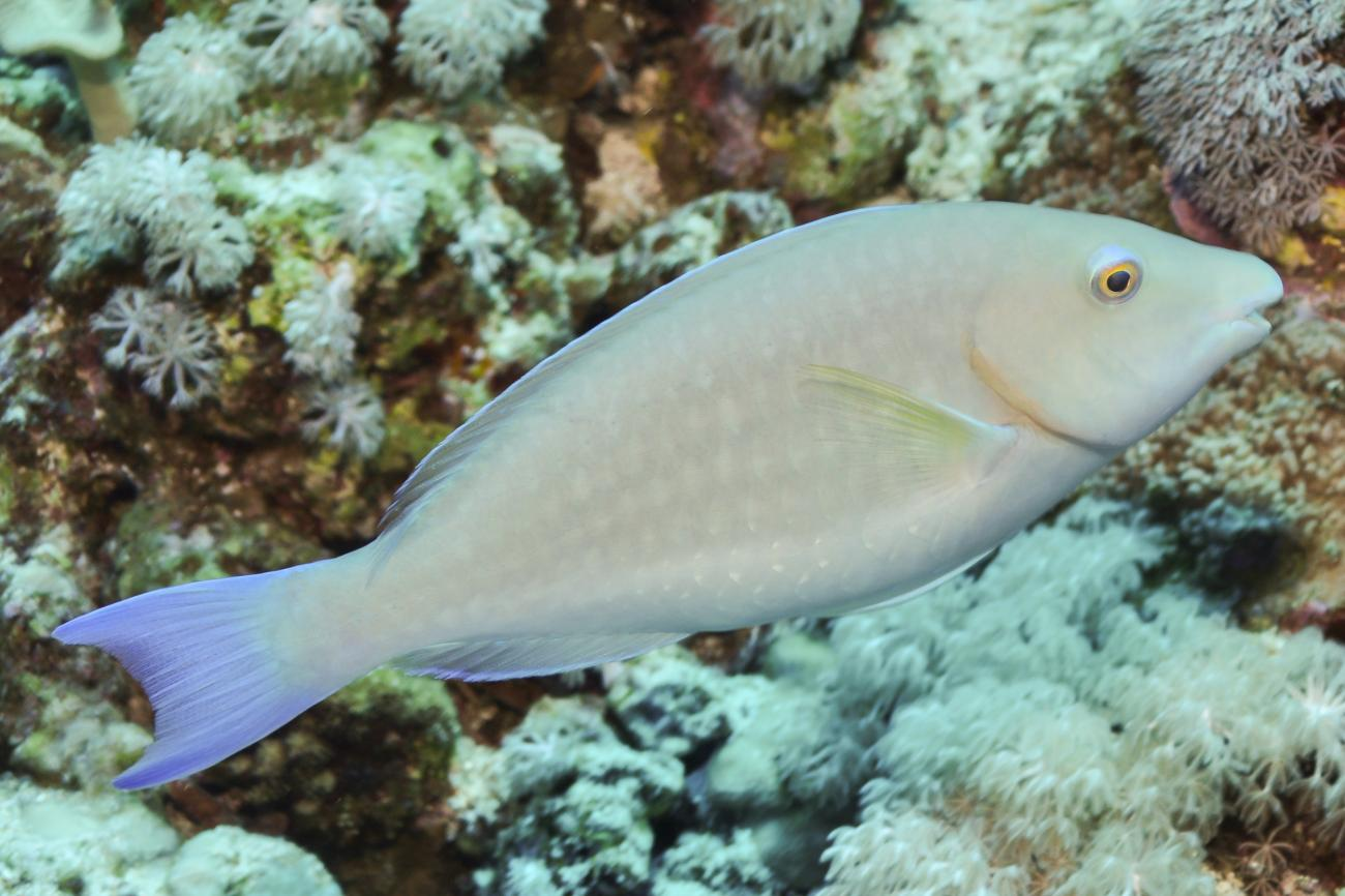 Hipposcarus harid, Female, Red Sea,  Photo: Rick Stuart-Smith