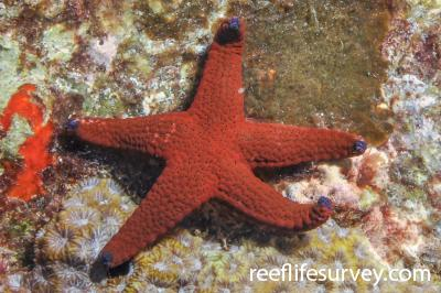 Fromia milleporella: Seychelles,  Photo: Rick Stuart-Smith