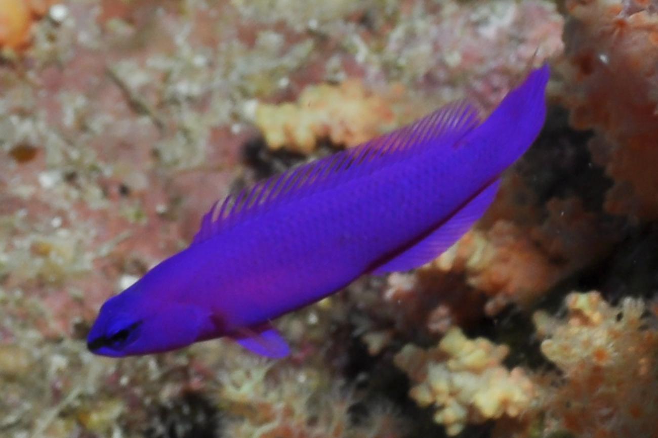 Pseudochromis fridmani, Red Sea,  Photo: Rick Stuart-Smith