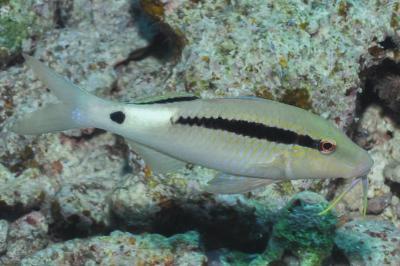 Parupeneus macronemus: Red Sea,  Photo: Rick Stuart-Smith