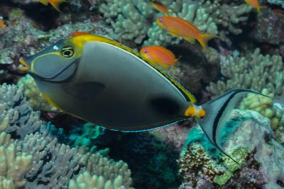 Naso elegans: Red Sea,  Photo: Rick Stuart-Smith