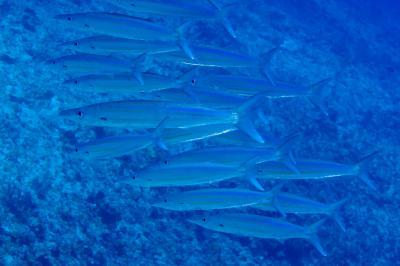 Sphyraena helleri: Adult, Chilcott Reef, Coral Sea,  Photo: Andrew Green