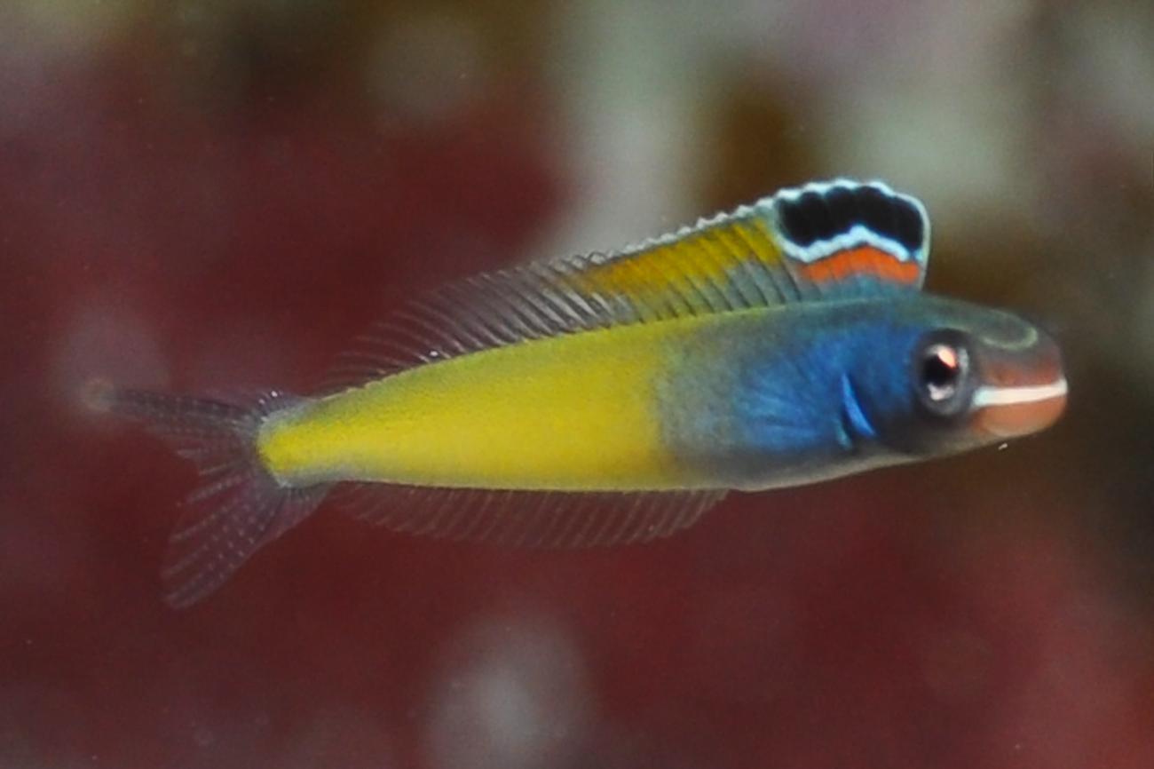 Plagiotremus townsendi, Adult, Red Sea,  Photo: Rick Stuart-Smith