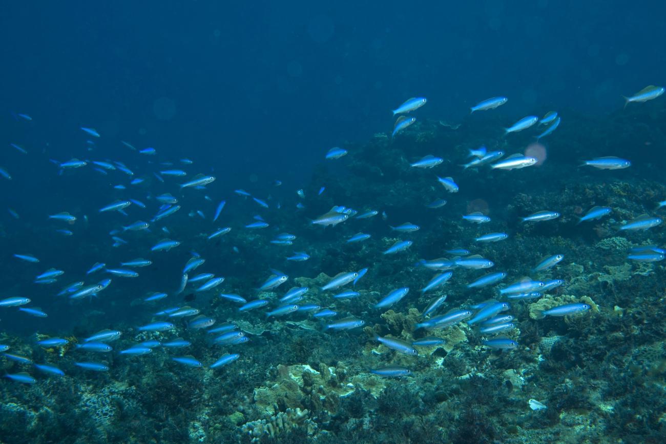 Teixeirichthys jordani, Little Island, Lord Howe Is, NSW,  Photo: Andrew Green