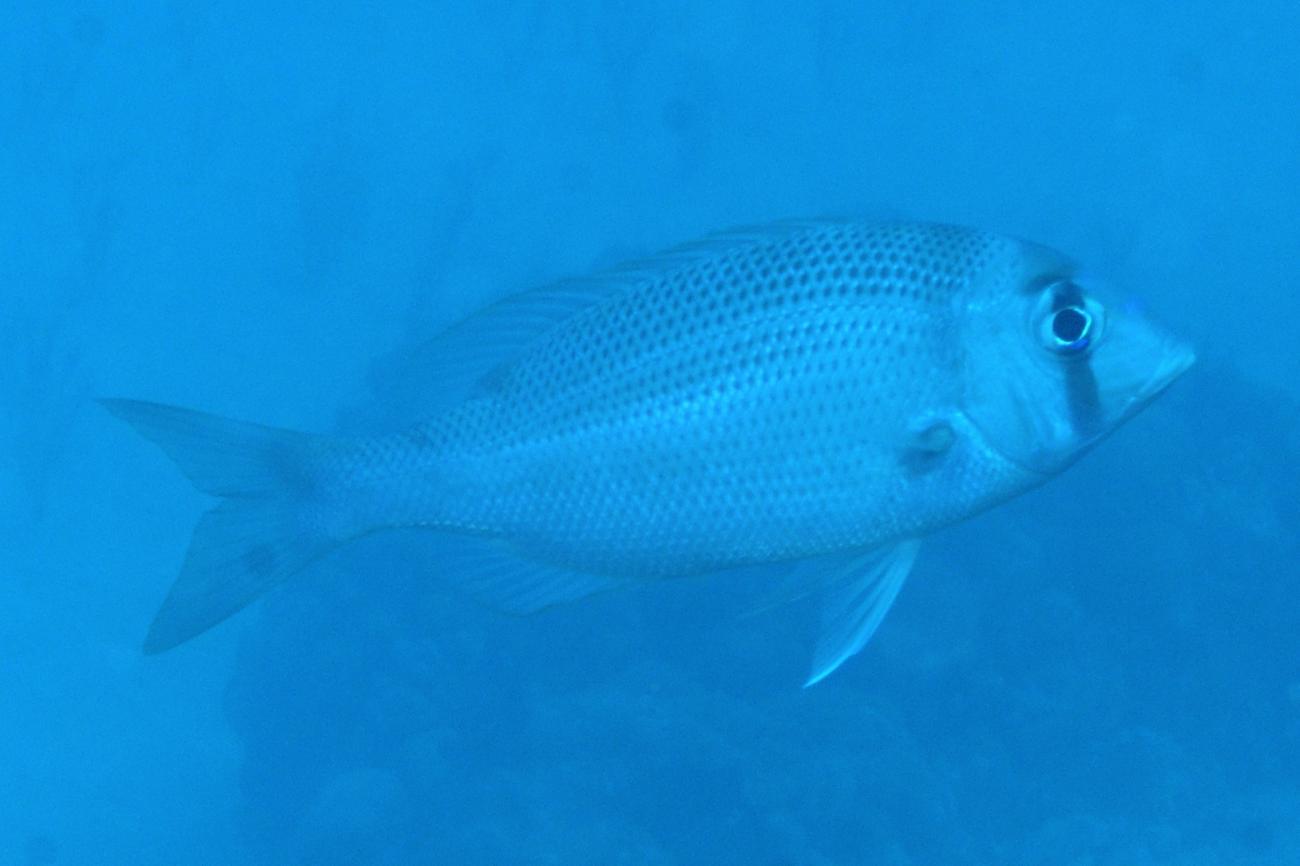 Gymnocranius superciliosus, Minerva Reef, Pacific Ocean.,  Photo: Graham Edgar