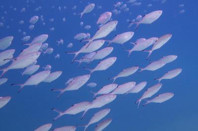 Trachinotus ovatus:  Photo: Jose A. Sanabria-Fernandez