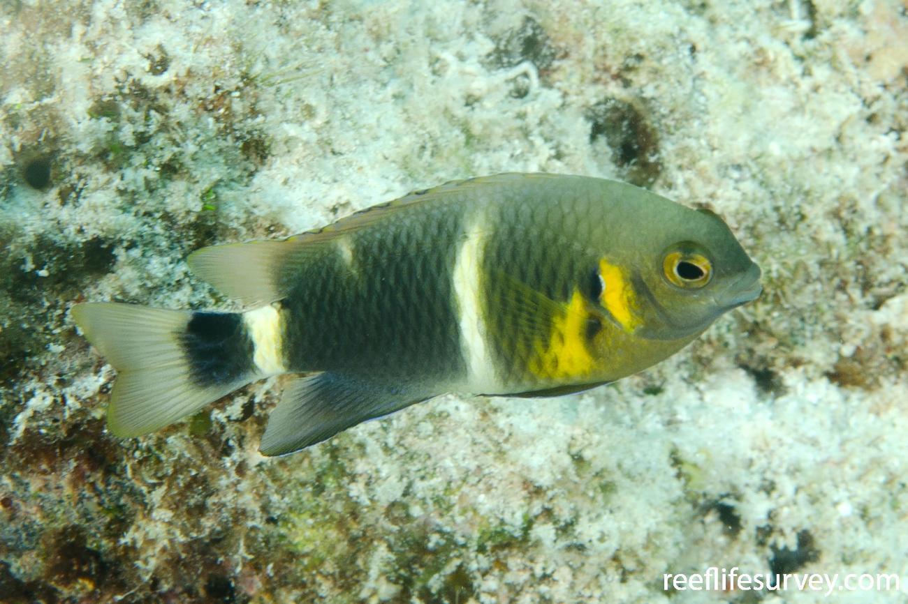 Chrysiptera brownriggii, Adult, Serangapatam Reef,  Photo: Ian Shaw