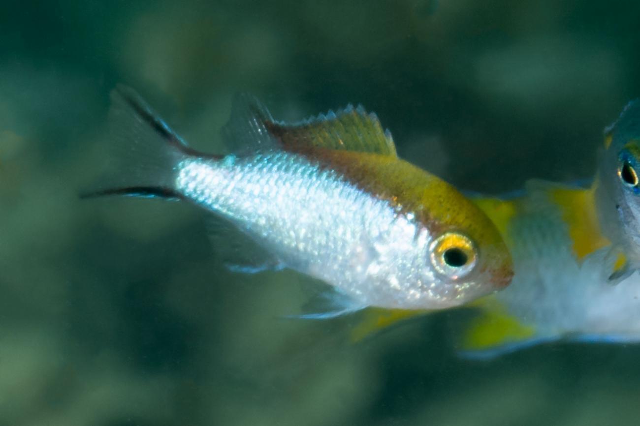 Chromis nitida, Juvenile, Great Keppel Is, QLD,  Photo: Rick Stuart-Smith
