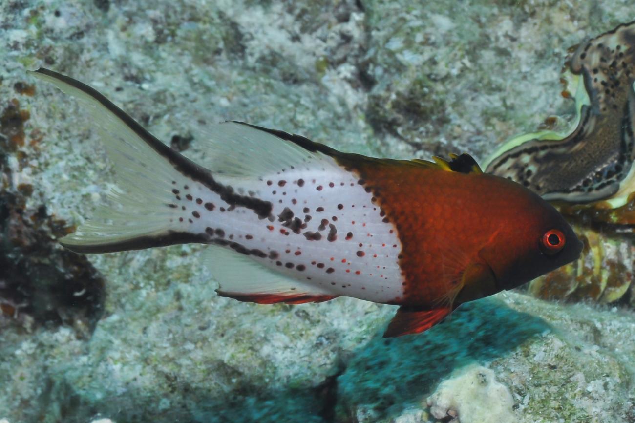 Bodianus anthioides, Adult, Red Sea,  Photo: Rick Stuart-Smith