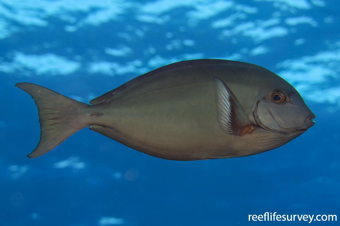 Acanthurus albipectoralis, Lihou Reef, Coral Sea,  Photo: Ben Jones