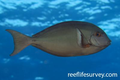 Acanthurus albipectoralis: Lihou Reef, Coral Sea,  Photo: Ben Jones