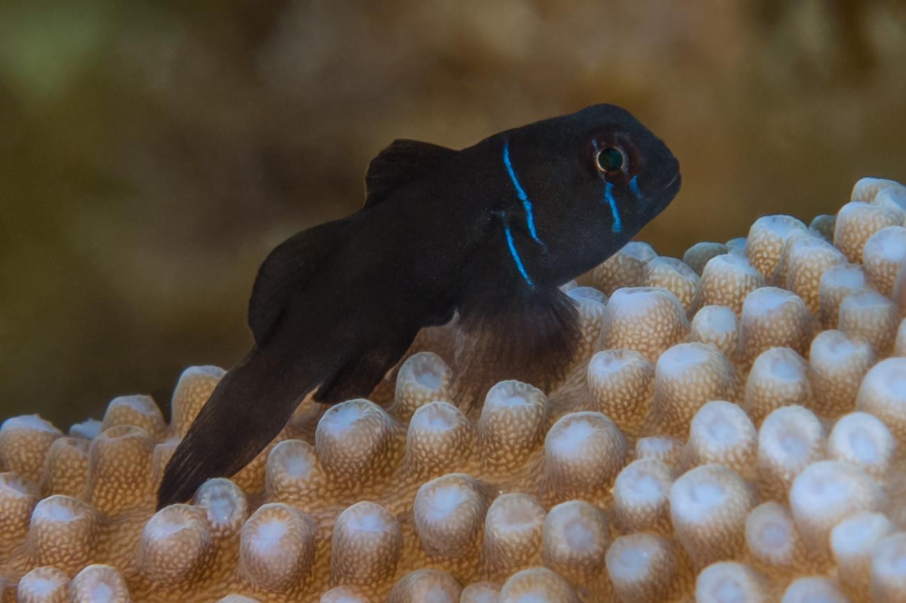 Gobiodon citrinus, Juvenile, WA, Australia,  Photo: Rick Stuart-Smith