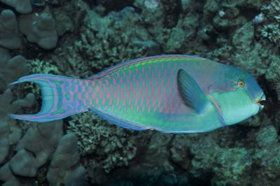 Chlorurus gibbus: Male, Marsa Alam, Egypt,  Photo: Rick Stuart-Smith