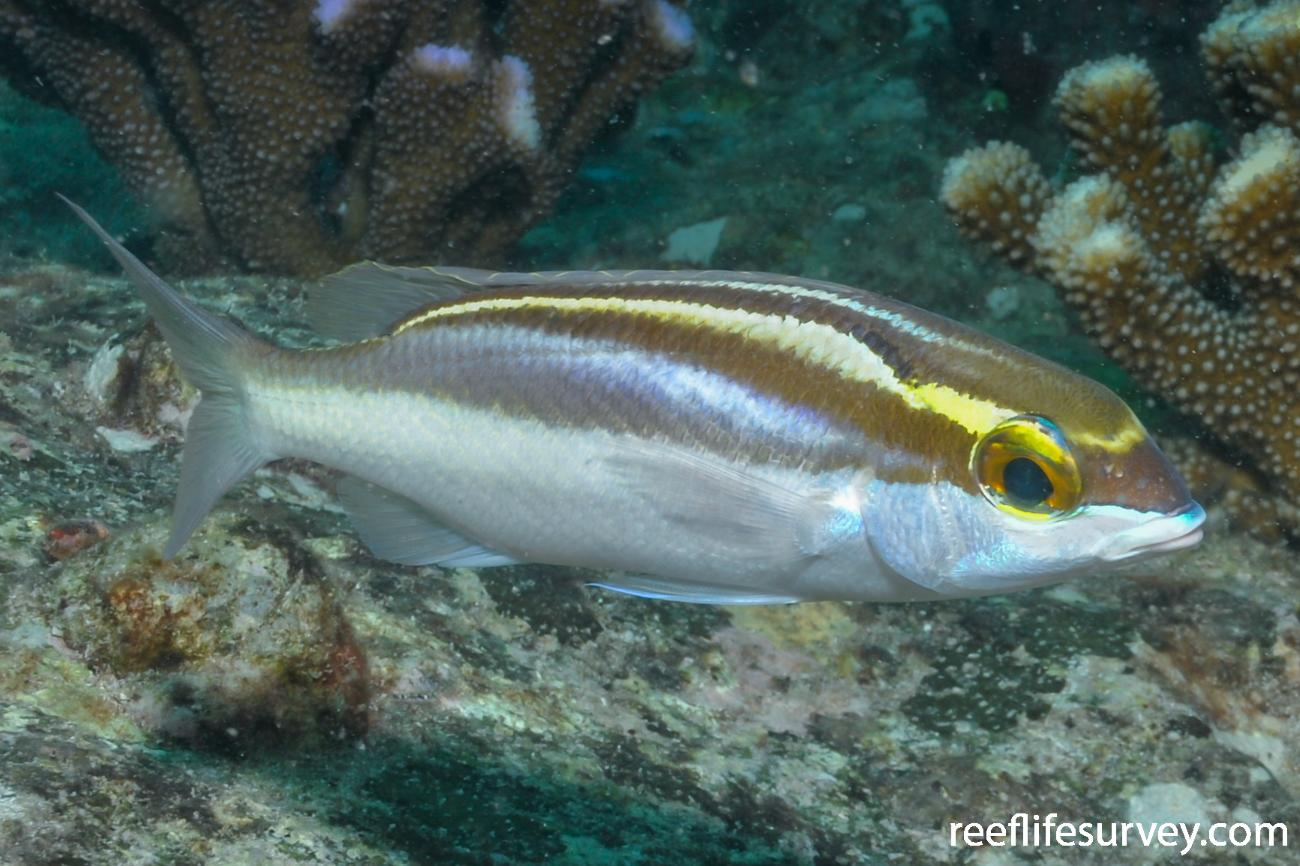 Scolopsis frenatus, Adult, Seychelles,  Photo: Rick Stuart-Smith