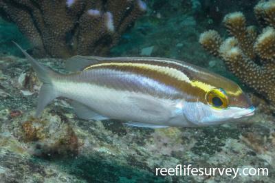 Scolopsis frenatus: Adult, Seychelles,  Photo: Rick Stuart-Smith