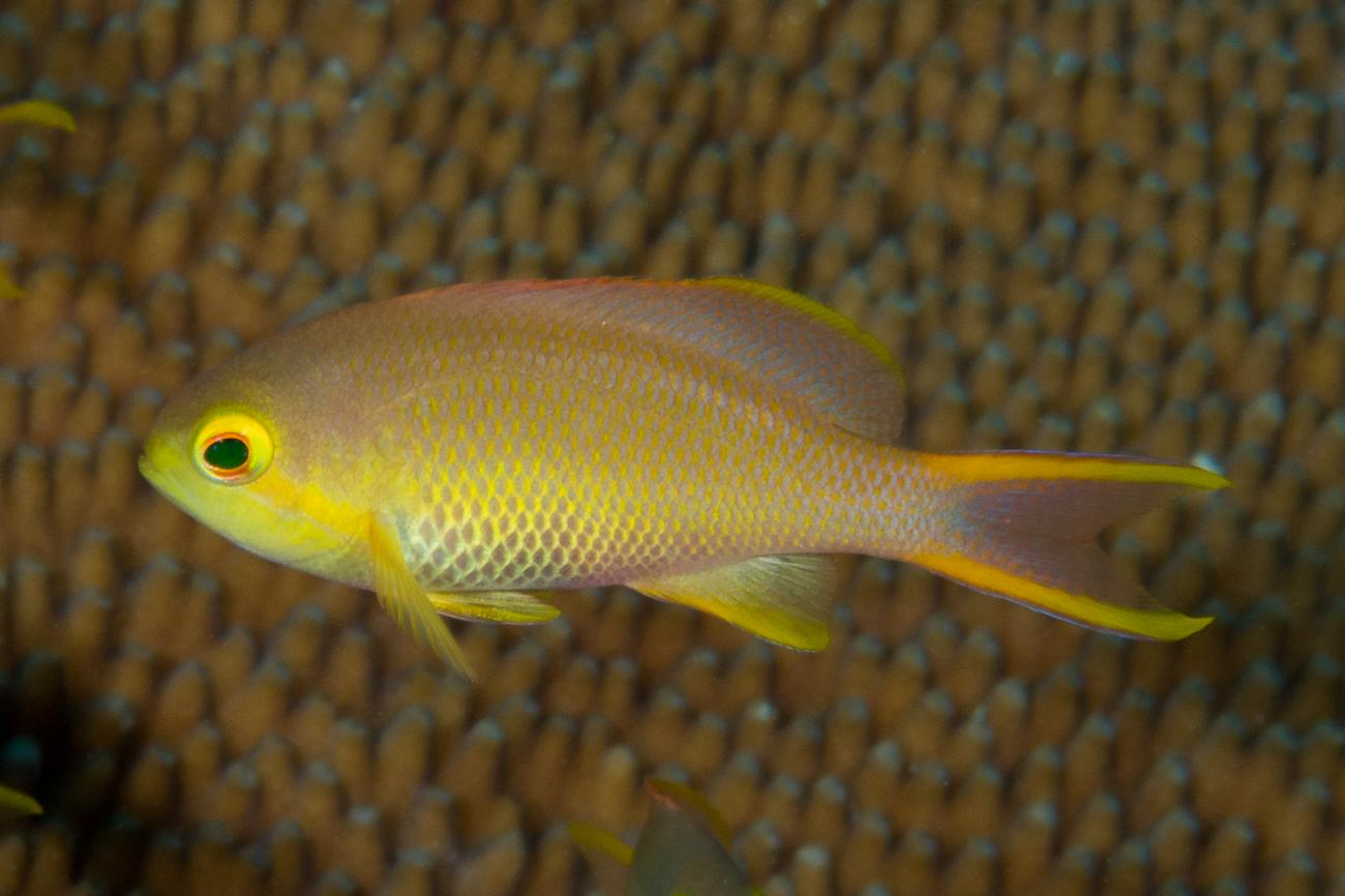 Pseudanthias huchtii, Female, Raja Ampat, Indonesia,  Photo: Rick Stuart-Smith